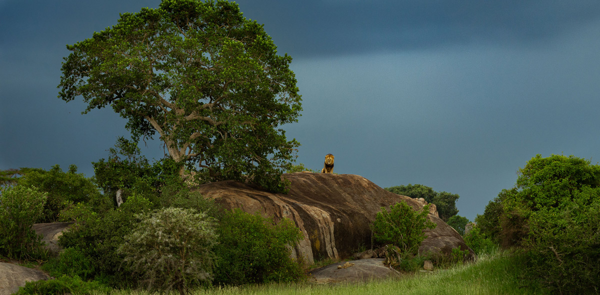 """King on his throne!"" – a lion sits atop a rocky outcrop in Serengeti National Park, Tanzania © Magal Sanjeev"