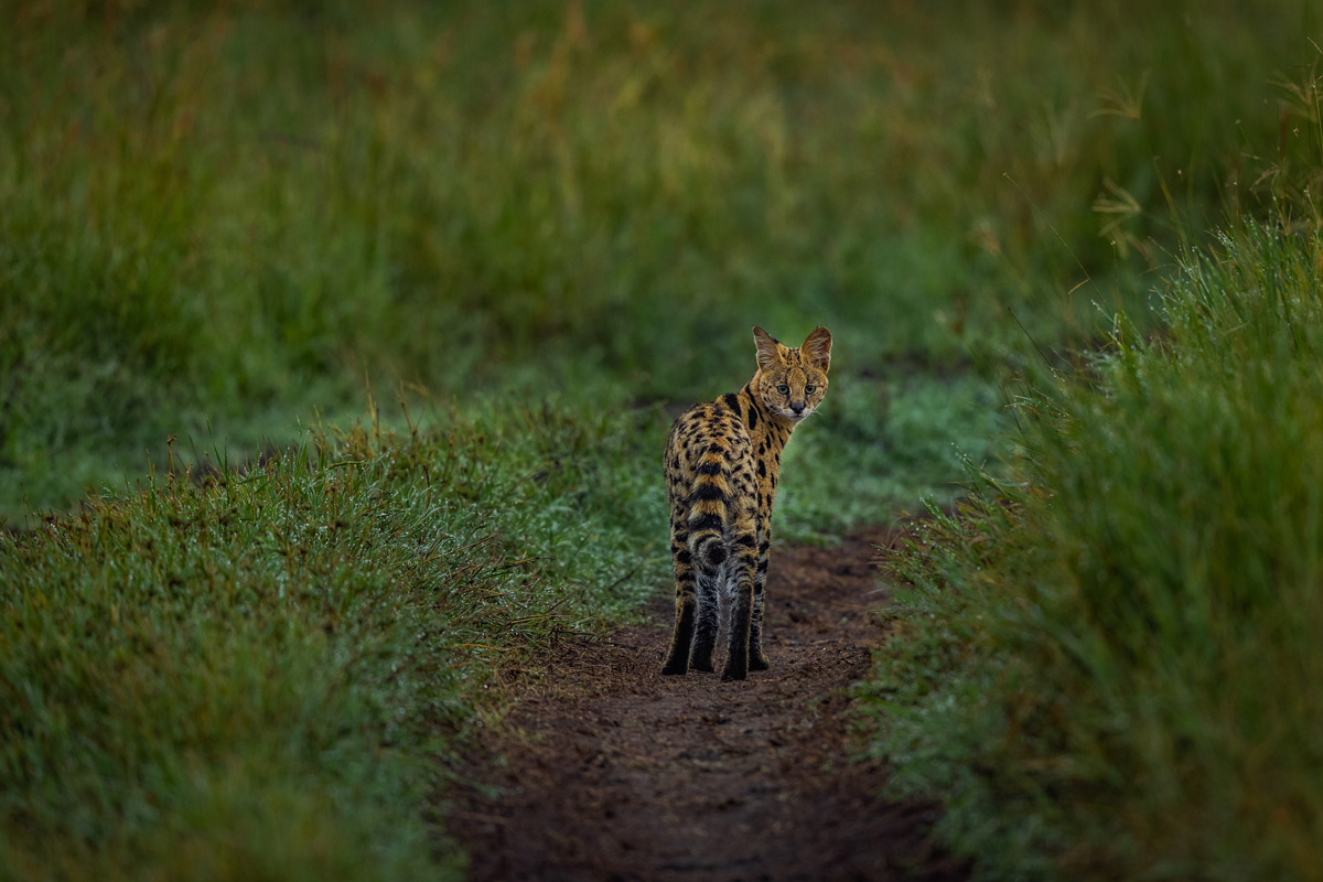 A serval walks along the road on a wet morning in Serengeti National Park, Tanzania © Magal Sanjeev