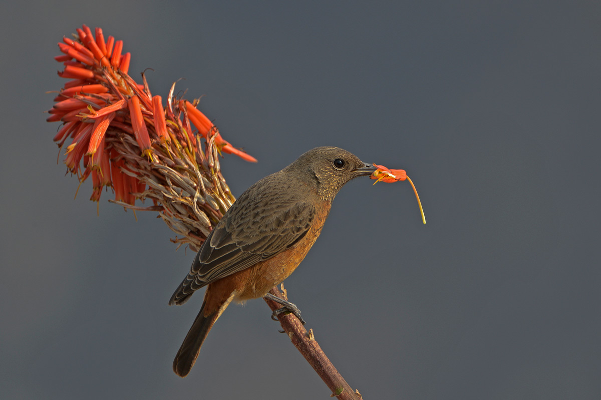 A Cape rock thrush spotted at Giant's Castle, Drakensberg, South Africa © Margie Botha