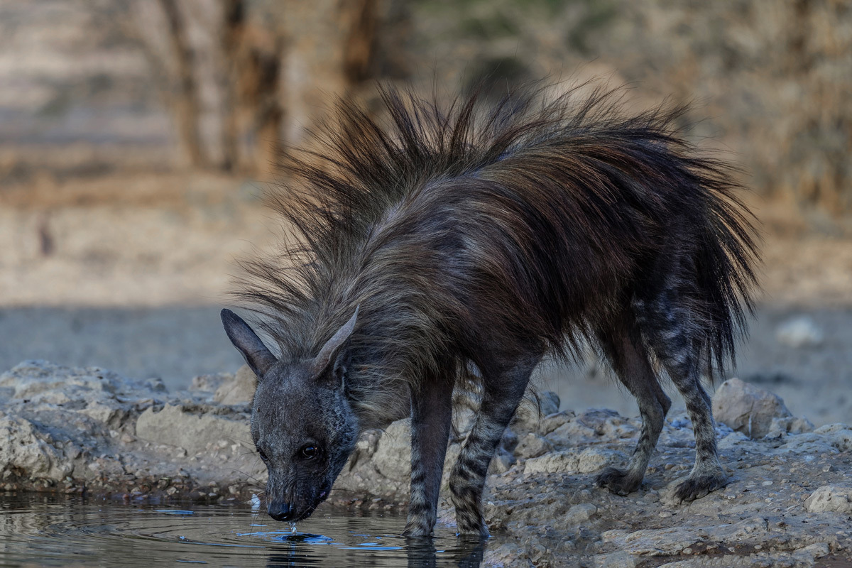 A brown hyena drinks at a waterhole in Kgalagadi Transfrontier Park, South Africa © Margie Botha