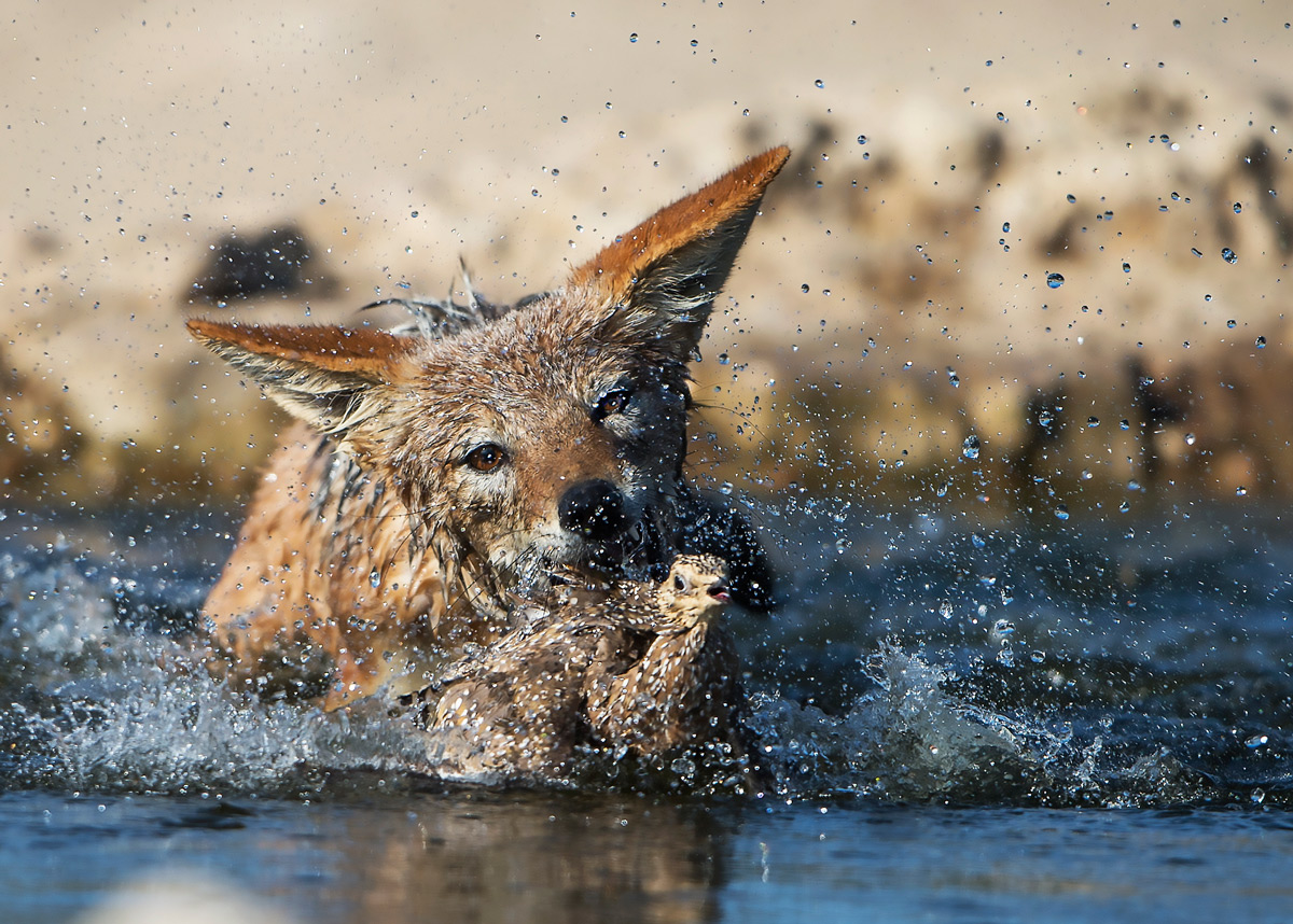 A black-backed jackal attempts to catch a Burchell's sandgrouse in Kgalagadi Transfrontier Park, South Africa © Margie Botha