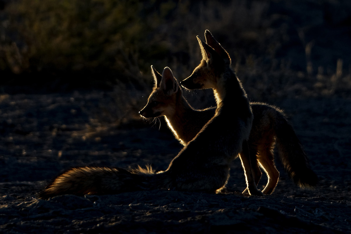 Cape foxes play in the first rays of the sun in Kgalagadi Transfrontier Park, South Africa © Margie Botha