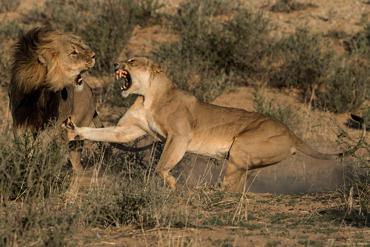 A confrontation between a lion and lioness in Kgalagadi Transfrontier Park, South Africa © Margie Botha