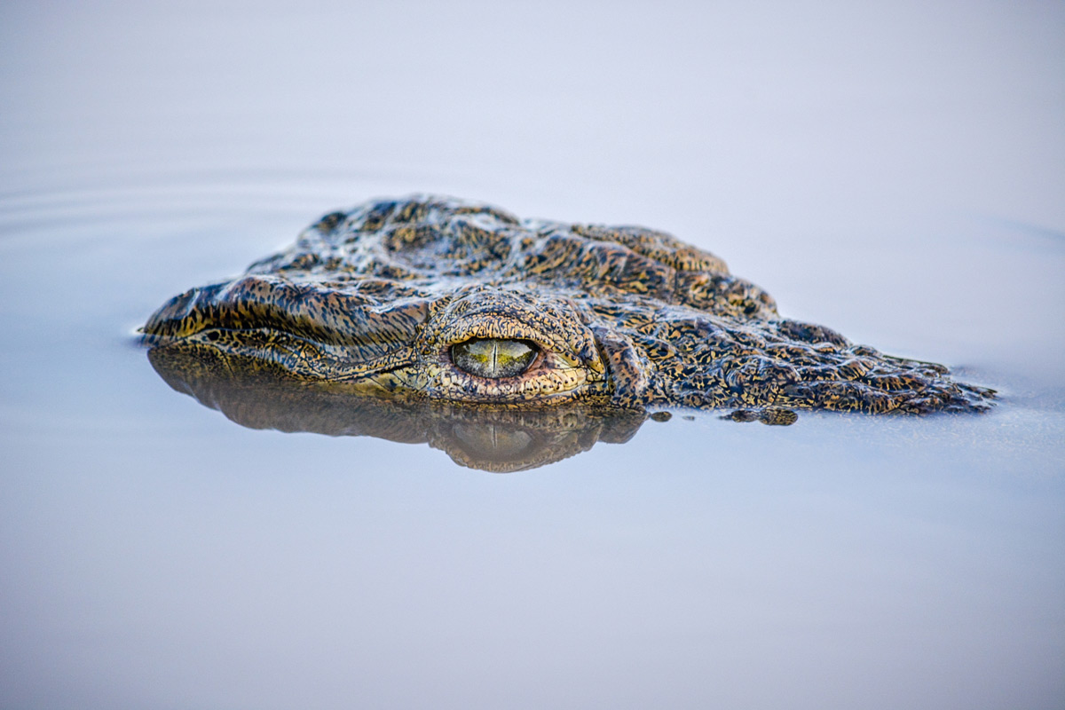 """Green eye"" – a Nile crocodile in the early morning, Kruger National Park, South Africa © Mari van Bosch"