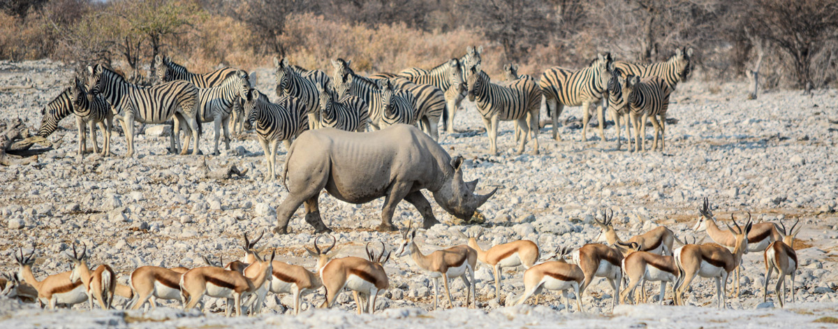 Zebras and springboks flank a black rhino, as if forming a guard of honour, as it walks away from a waterhole in Etosha National Park, Namibia © Mari van Bosch