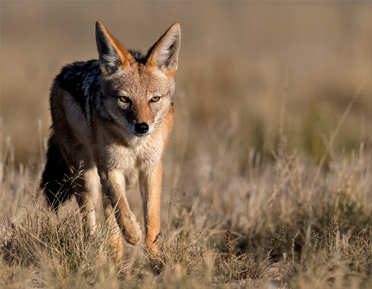 A black-backed jackal approaches a waterhole for a late afternoon drink in Mabuasehube Game Reserve, Botswana © Mart-Mari Duvenhage
