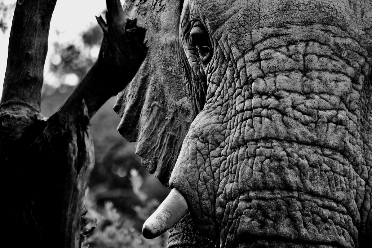 An elephant up close in Marakele National Park, South Africa © Matthew Parvin