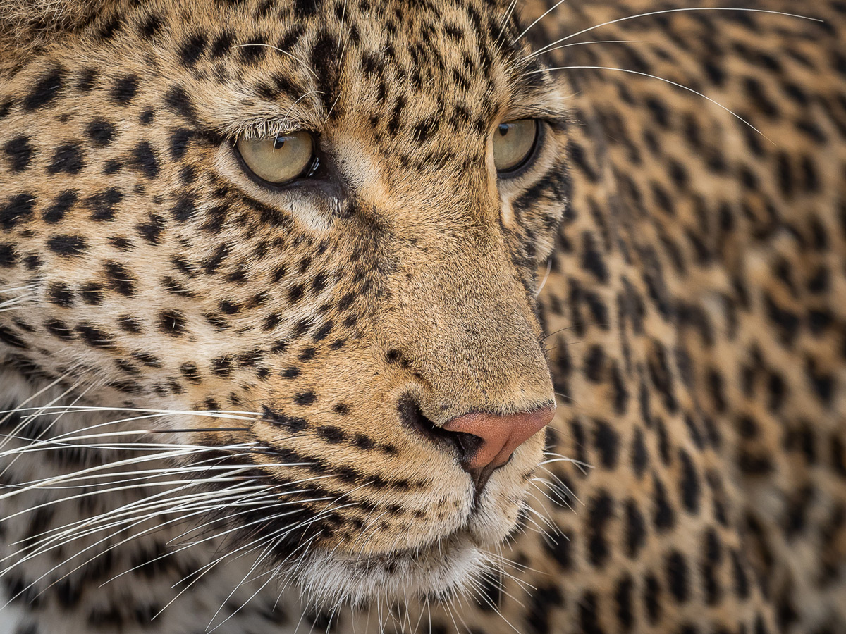 Up close with a leopardess in Sabi Sands Private Game Reserve, South Africa © Michael Raddall