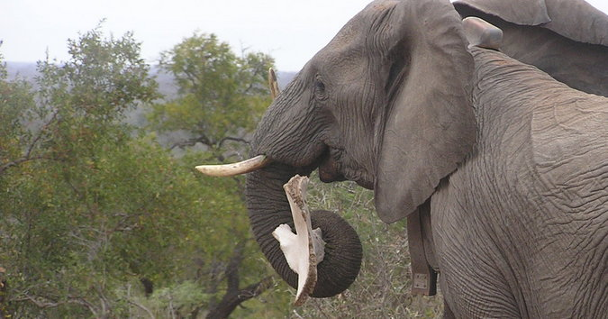 Elephant and bone interaction