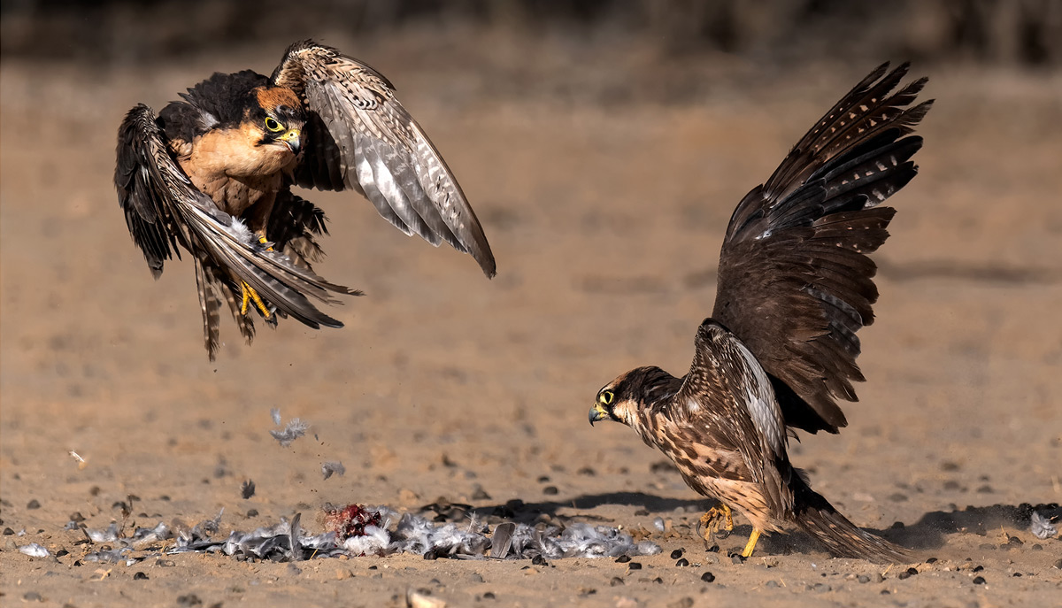 Lanner falcons fight over the remains of a dove in Kgalagadi Transfrontier Park, South Africa © Michiel Duvenhage