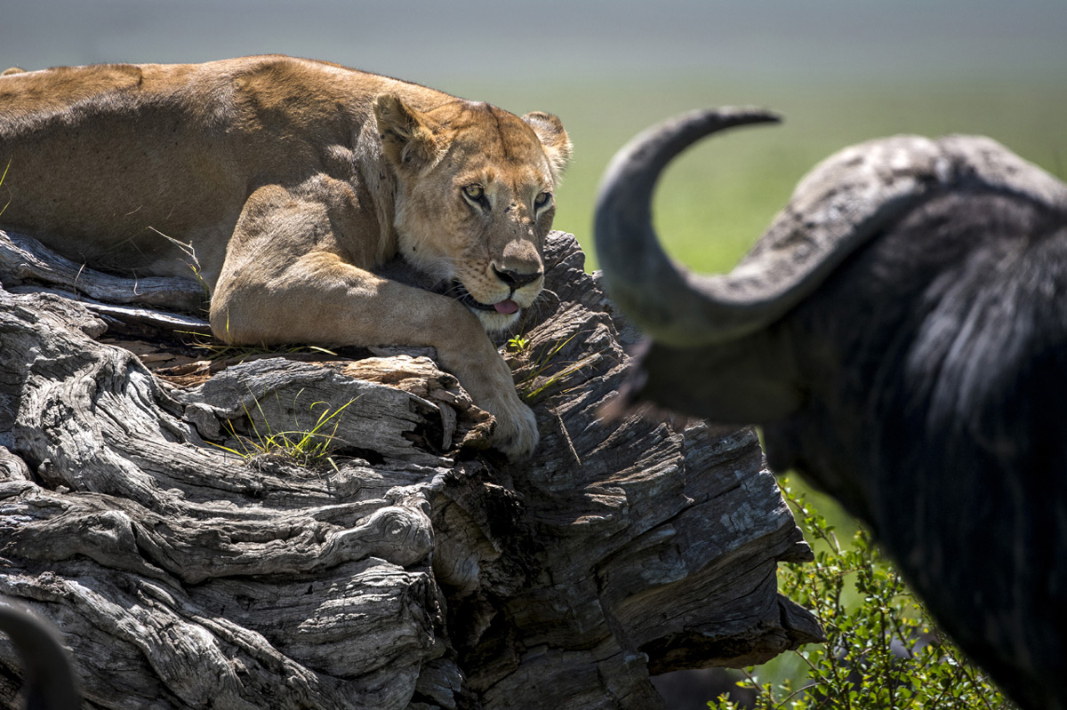 A lioness protects her three young cubs, who were hidden under the log, from an inquisitive buffalo in Maasai Mara National Reserve, Kenya © Paolo Torchio