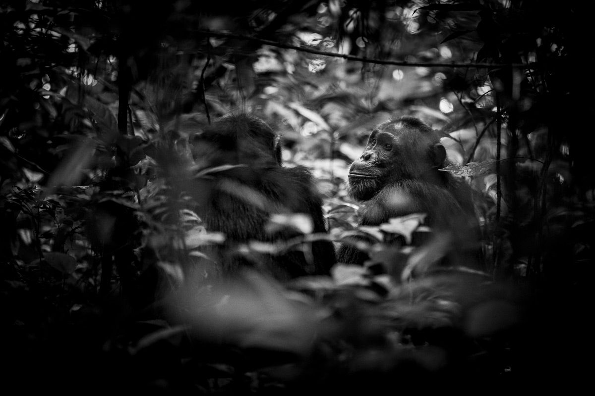 Chimpanzees in Kibale Forest National Park, Uganda © Patrice Quillard