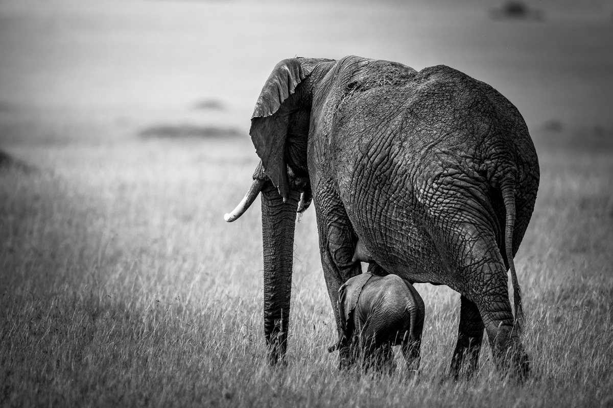 An elephant mother with her calf in Maasai Mara National Reserve, Kenya © Patrice Quillard
