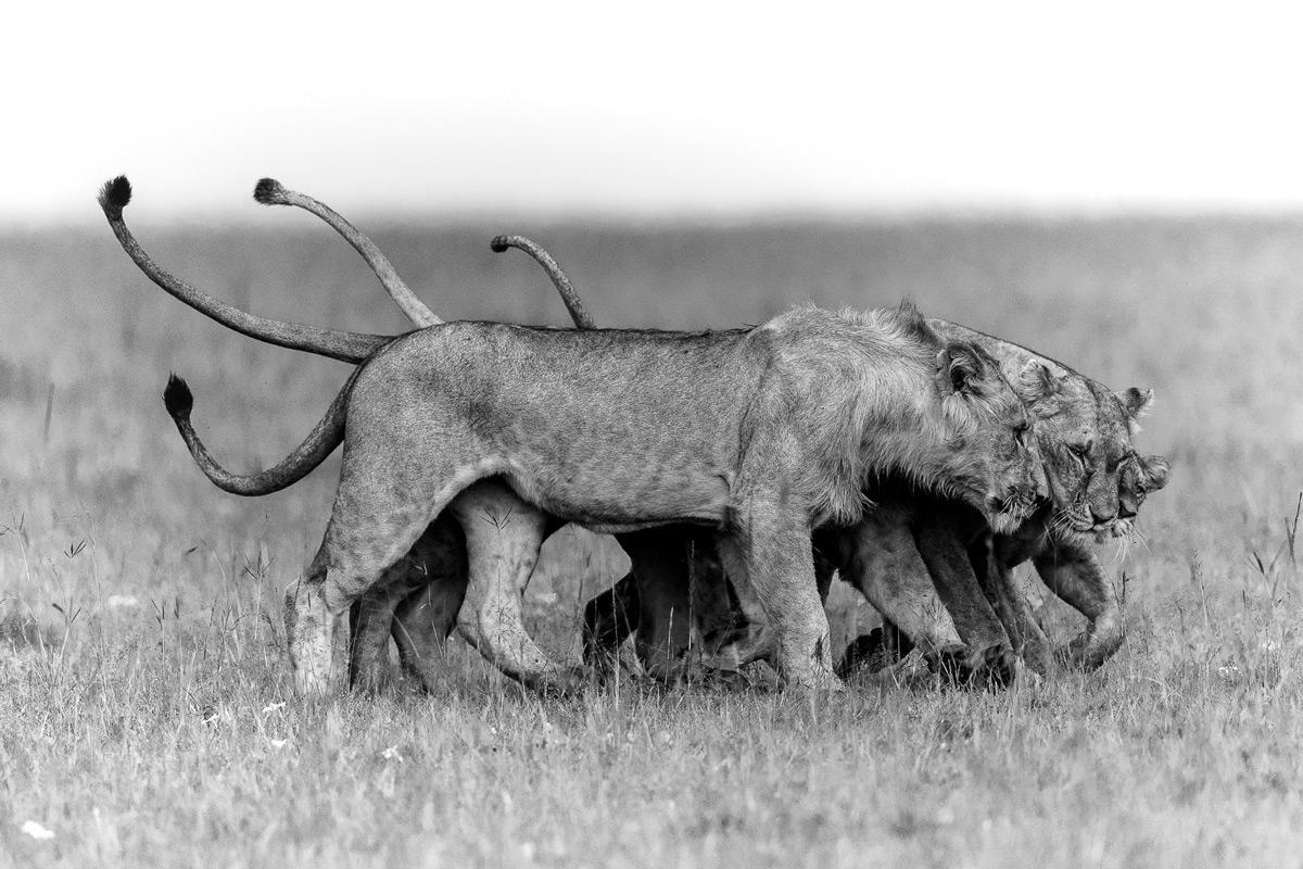 """Hugs"" – a lion family in Maasai Mara National Reserve, Kenya © Patrice Quillard"
