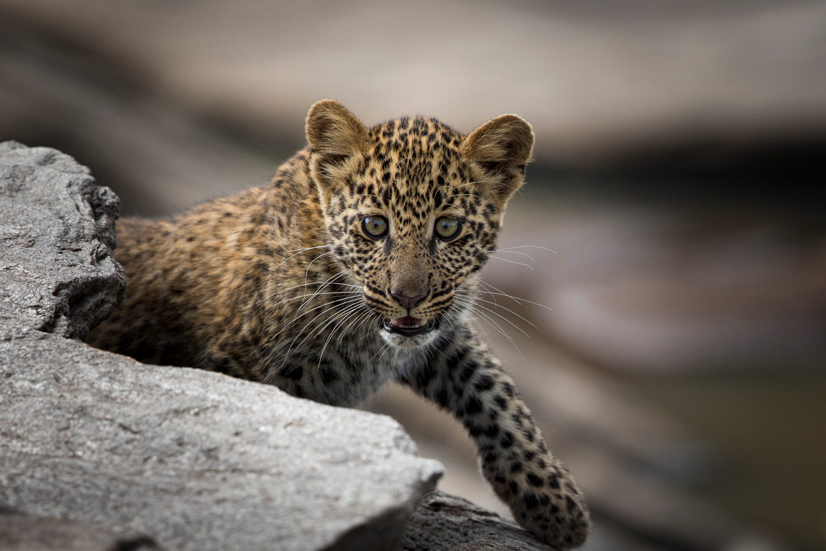 A young leopard joins his mother out in the open in Maasai Mara National Reserve, Kenya © Patrice Quillard