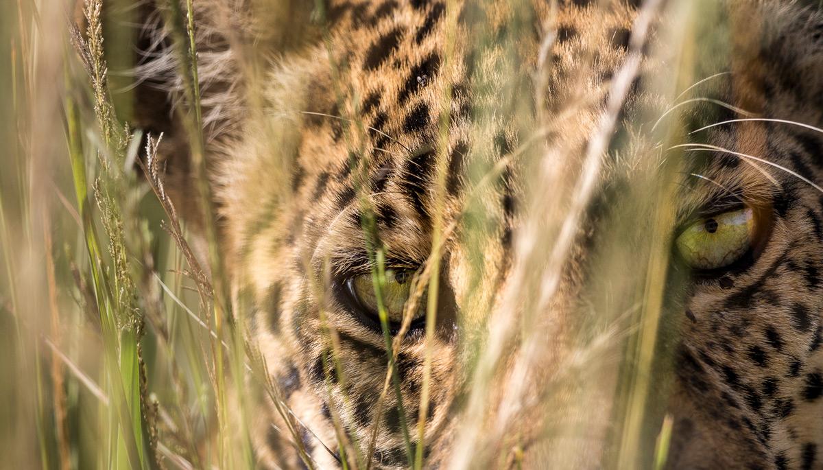 Leopard eyes up close in Maasai Mara National Reserve, Kenya © Patrice Quillard