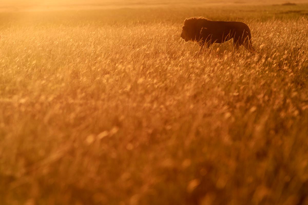 A lion walks through golden light in Maasai Mara National Reserve, Kenya © Patrice Quillard
