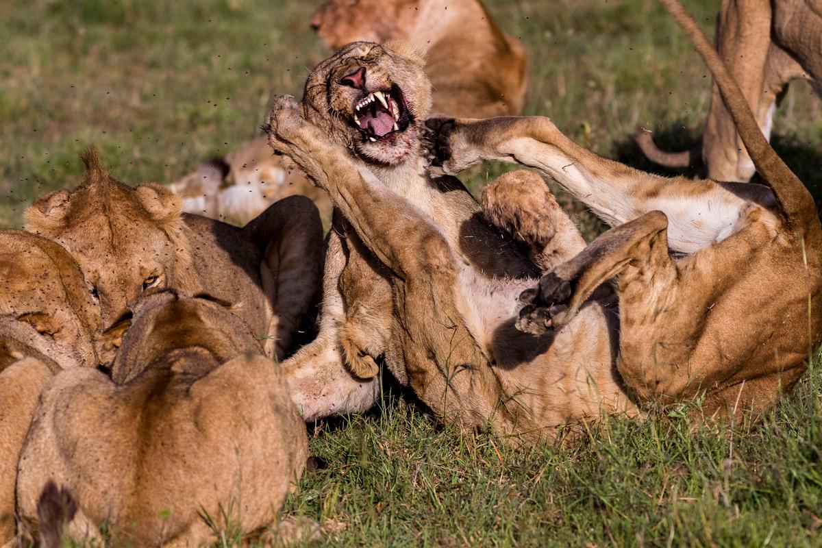 Lions fight while eating in Maasai Mara National Reserve, Kenya © Patrice Quillard