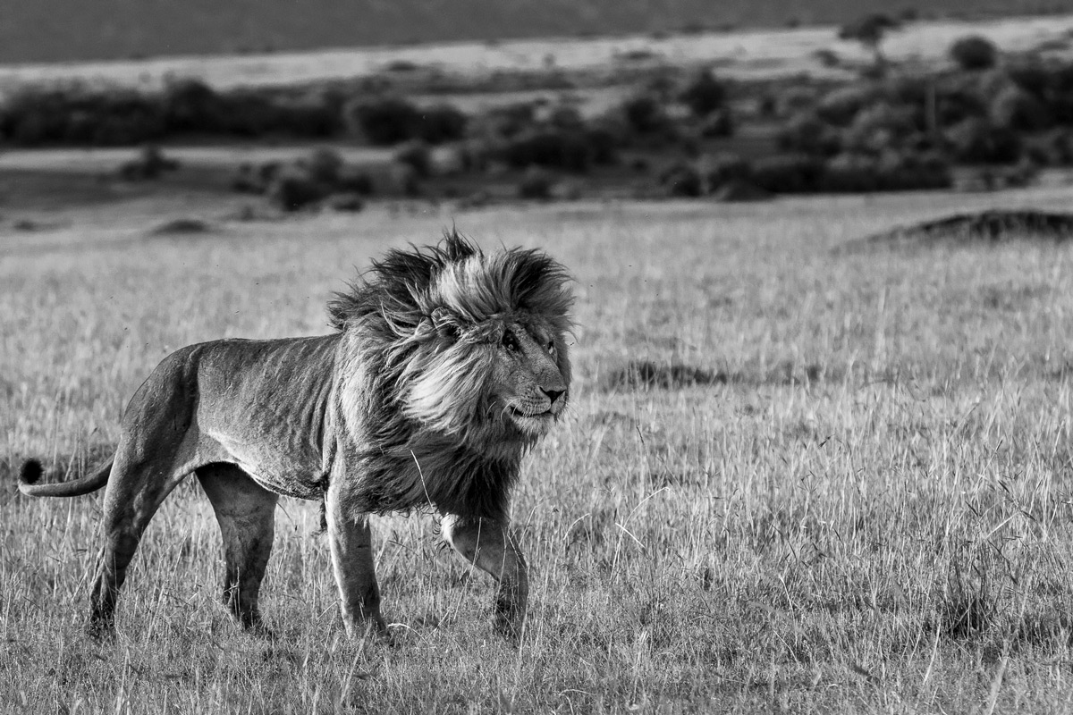 The splendid lion Scarface, at the time when he reigned the Marsh Pride, Maasai Mara National Reserve, Kenya © Patrice Quillard