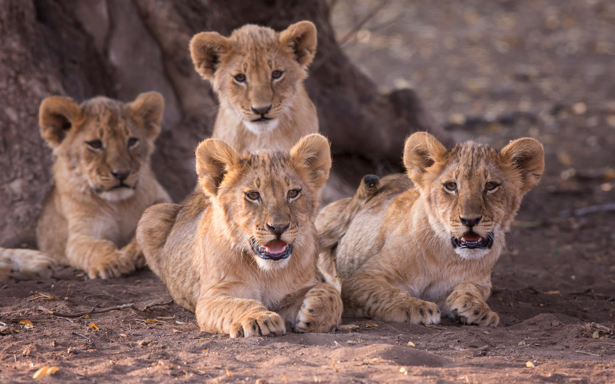 Four lion cub siblings take shelter under at Mashatu tree in Mashatu Game Reserve, Botswana © Prelena Soma Owen