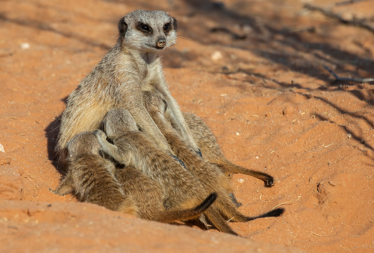 """""""The joys of motherhood"""" – an alpha female meerkat patiently nurses her young brood in Kgalagadi Transfrontier Park, South Africa © Prelena Soma Owen"""