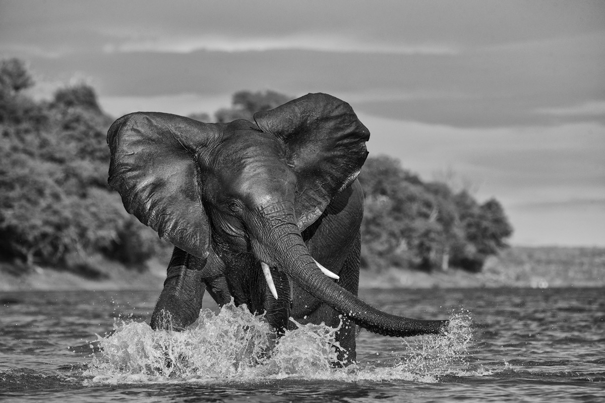 An elephant enjoys a splash in the cooling waters of the Chobe River in Chobe National Park, Botswana © Prelena Soma Owen