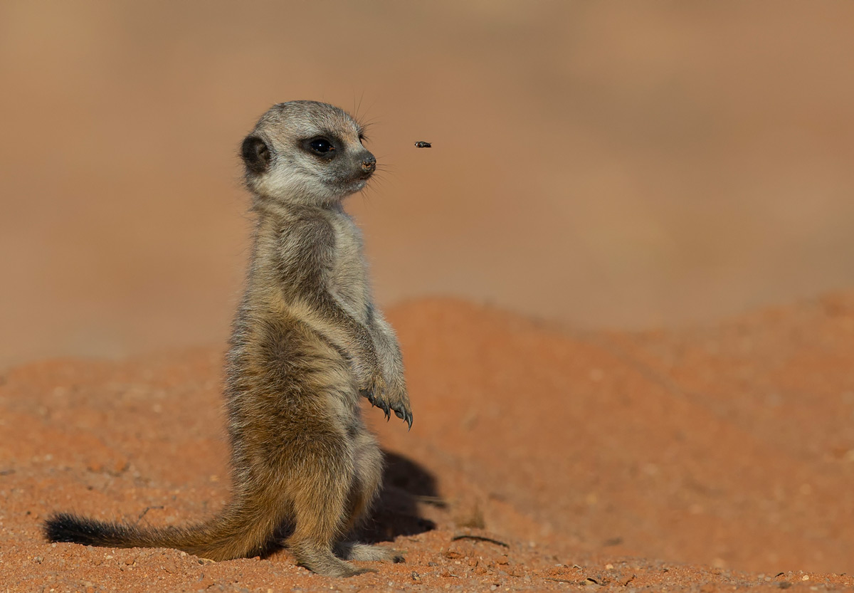 A baby meerkat and a fly, Kgalagadi Transfrontier Park, South Africa © Prelena Soma Owen