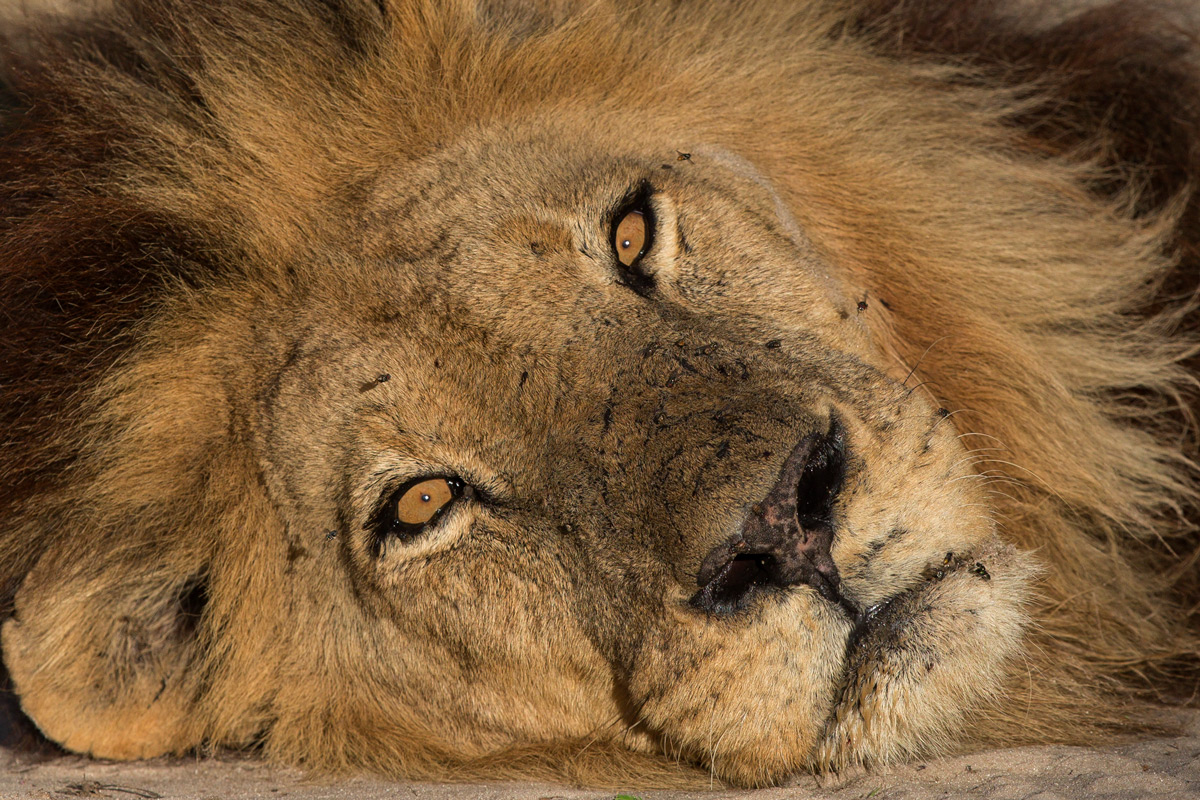 A sleeping lion is pestered awake by an onslaught of flies in Khwai, Botswana © Prelena Soma Owen