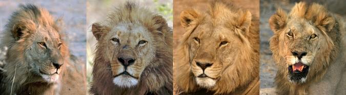 Four male lions