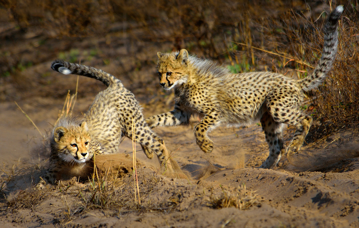Cheetah cubs play in Phinda Private Game Reserve, South Africa © Rhona Sellschop
