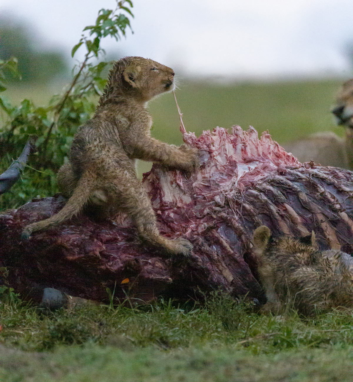 Two lion cubs have a field day eating a kudu carcass without any disturbance while the rest of the pride relaxes after already gorging themselves, Maasai Mara National Reserve, Kenya © Ruzdi Ekenheim (Instagram/ruek66)