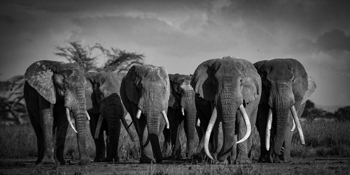 """Last of the tuskers"" – Tim, possibly Kenya's most famous elephant, leads an entourage of companions through the Kimana Sanctuary, southern Kenya © Ryan Wilkie"