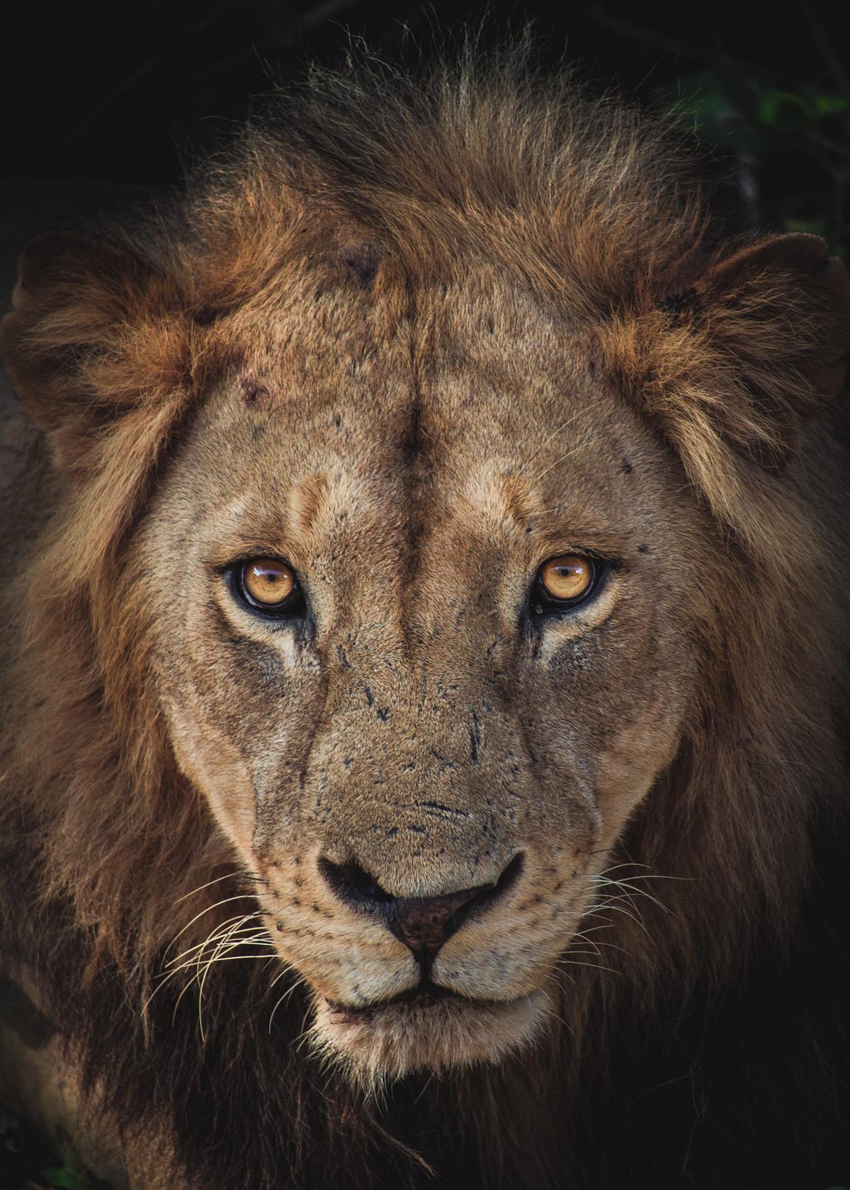 A lion spotted along the road in Lake Manyara National Park, Tanzania © Serkan Hussein
