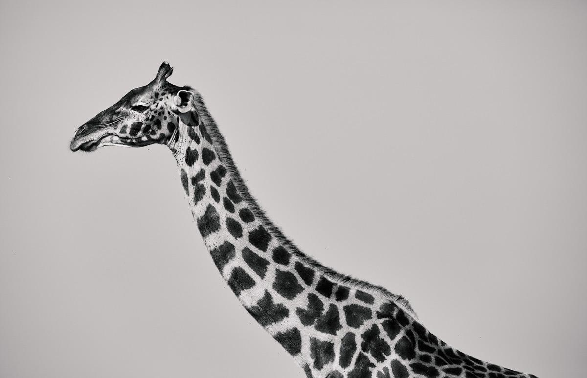 A giraffe against a clear sky in Maasai Mara National Reserve, Kenya © Simon Withyman