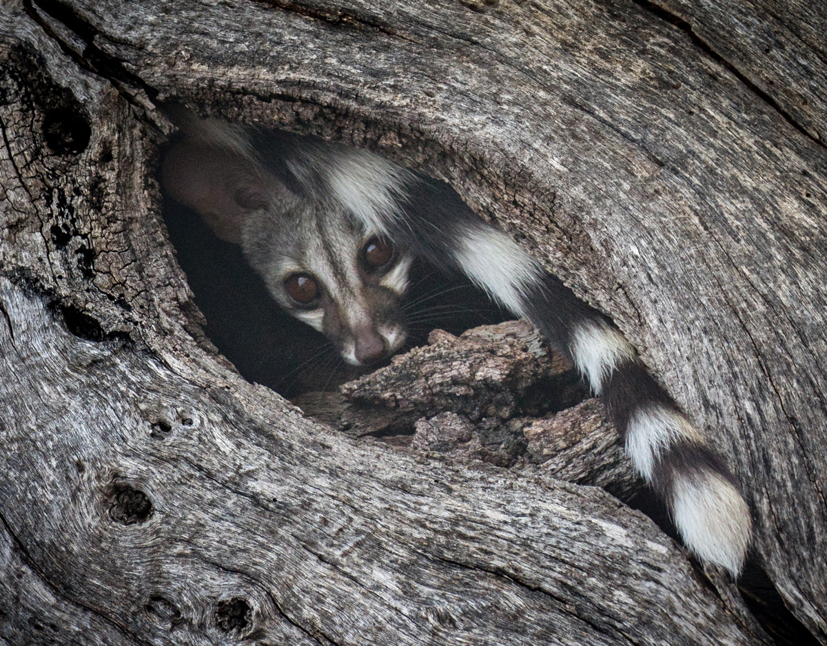 A genet prepares for a hard day's sleep in Klaserie Private Nature Reserve, South Africa © Sophie Brown