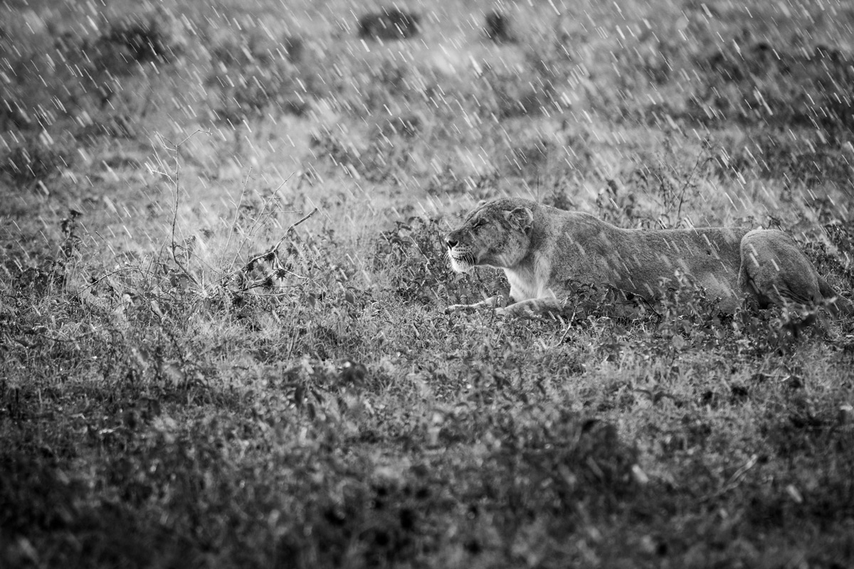 A lioness stalks a wildebeest calf in the pouring rain, Madikwe Game Reserve, South Africa © Stephanie-Emmy Klarmann