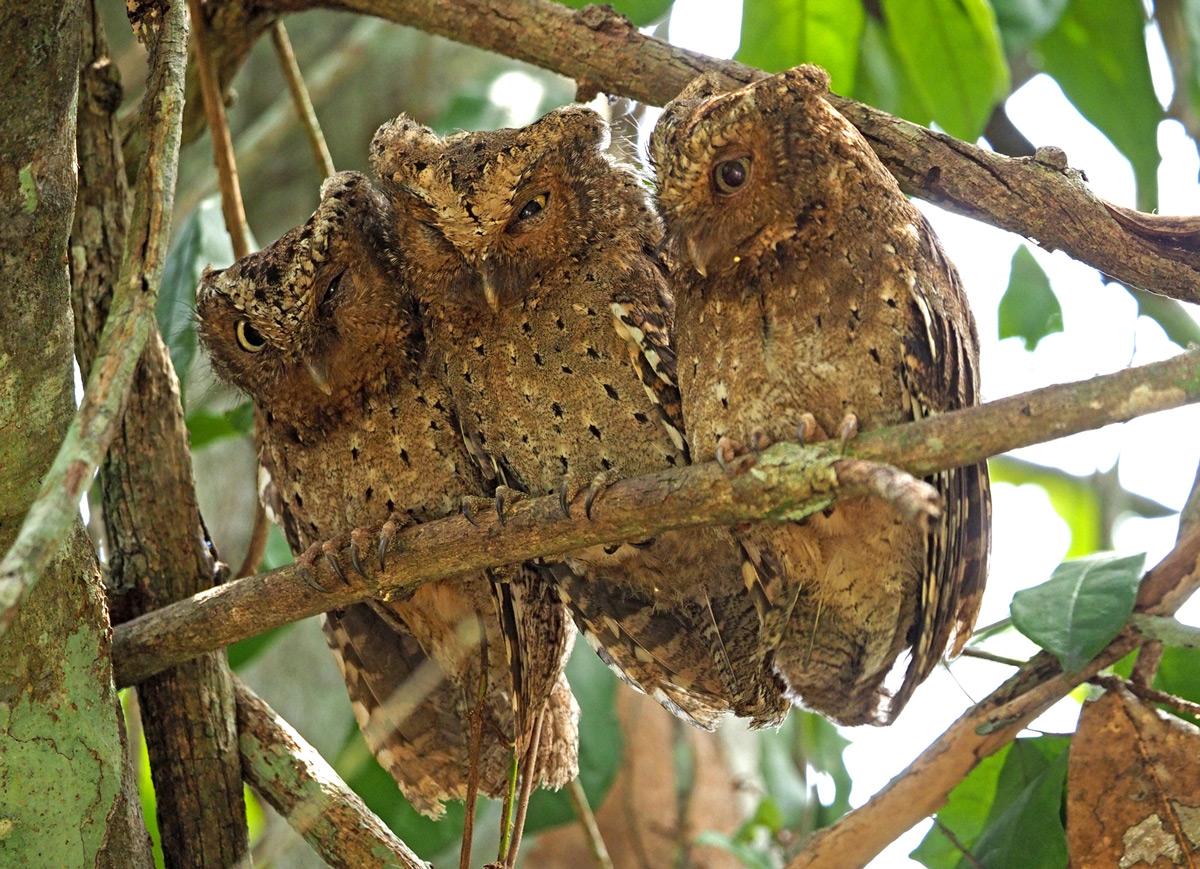 Endemic Sokoke scops owls roost together in Arabuko Sokoke Forest Reserve, Kenya © Steve Holroyd
