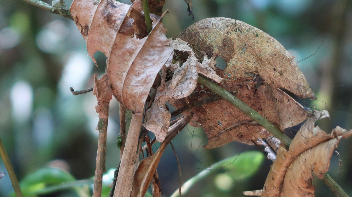 An extremely well camouflaged satanic leaf-tailed gecko (Uroplatus phantasticus) hangs amongst the leaves in Madagascar © Steve Pressman