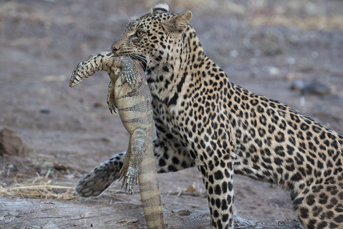 A young leopard carries a water monitor it killed in Mashatu Game Reserve, Botswana © Sue Goodman
