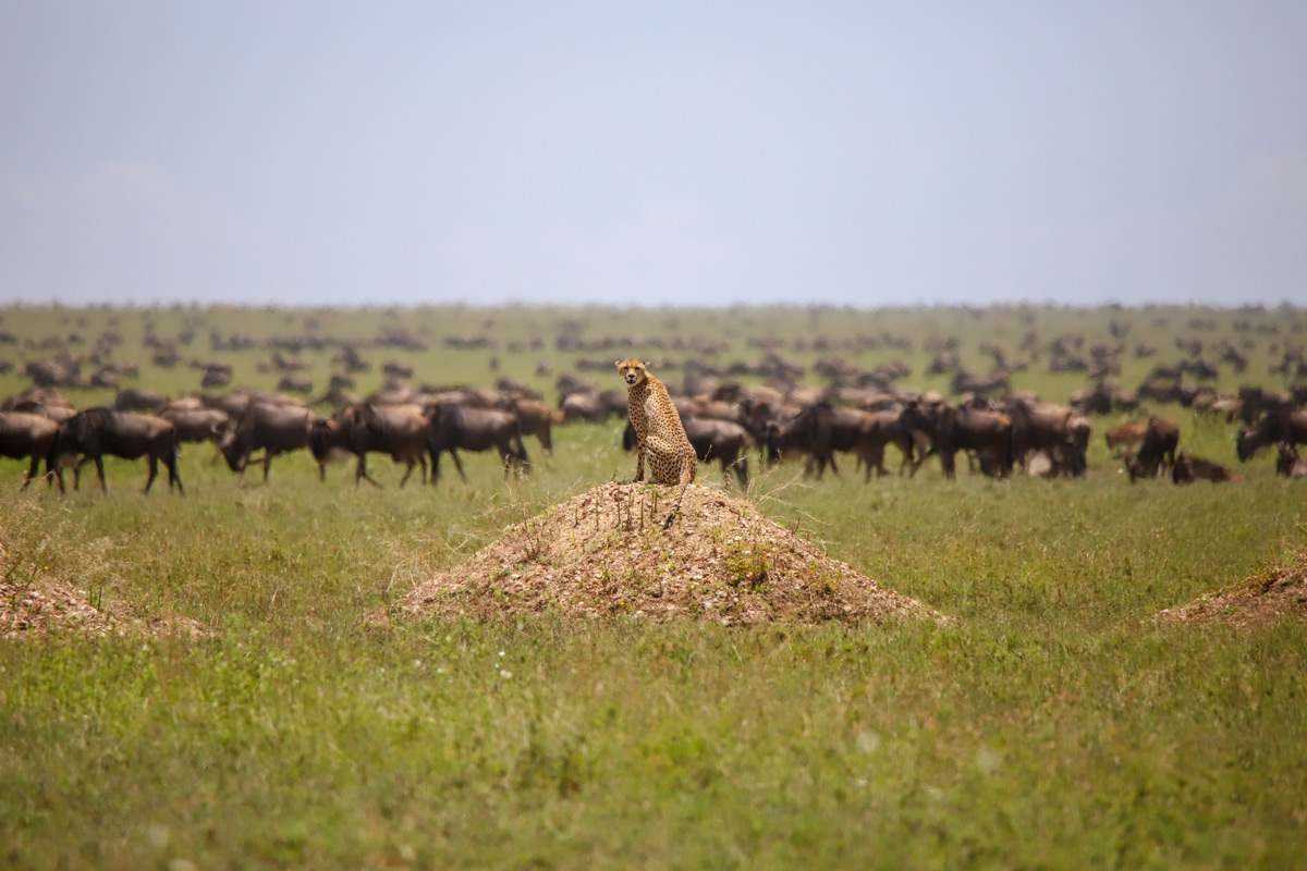 A lone cheetah sits on a mound while a large herd of wildebeest graze in the background in Serengeti National Park, Tanzania © Tara-ann Chimenti