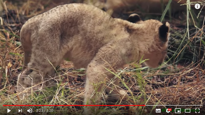 The female cub was extremely gaunt and malnourished © PaintedDog.TV (Screenshot from video)