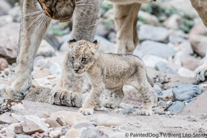 The gaunt female cub shortly after being reunited with her mother © PaintedDog.TV