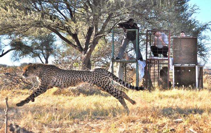 Three Musketeers release, cheetahs