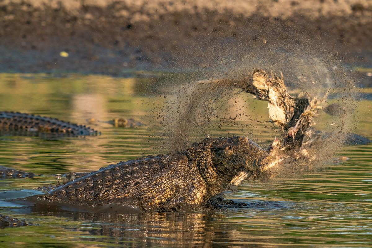 A 5-metre long Nile crocodile tears apart a 2.5-metre long crocodile in Kruger National Park, South Africa © Tim Driman