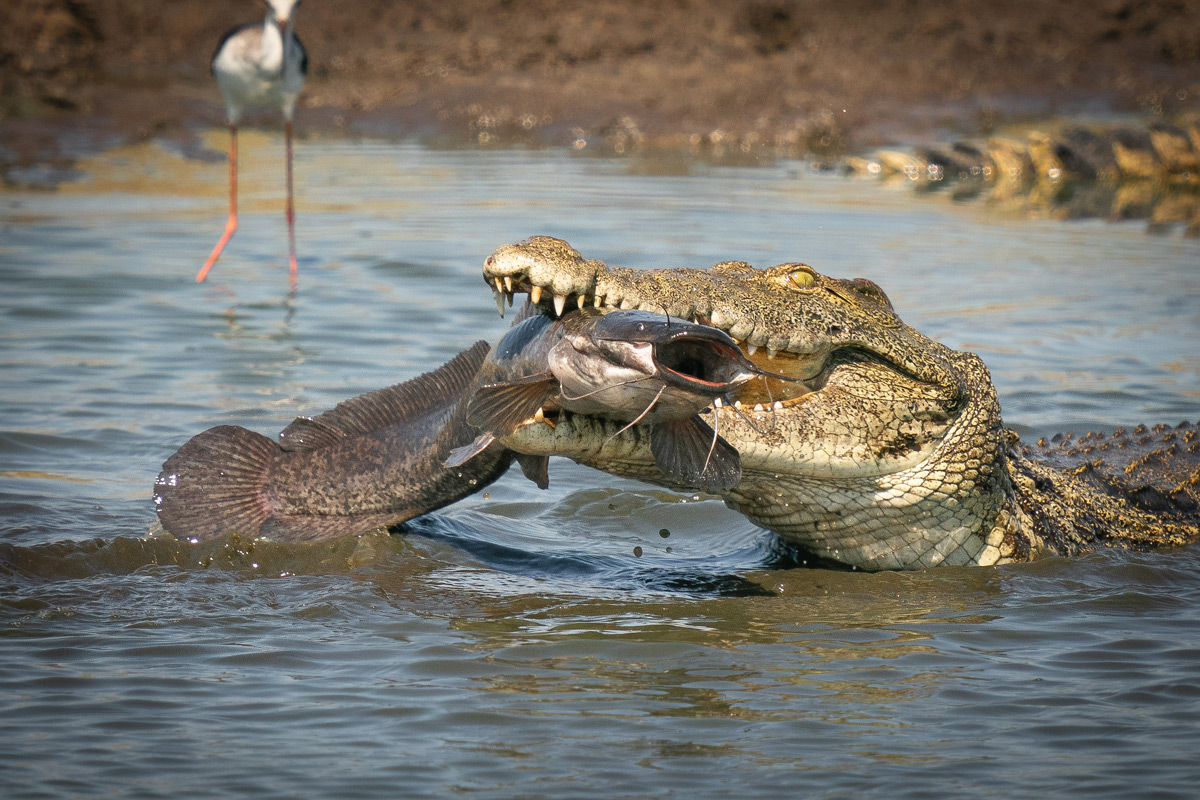 A Nile crocodile catches a large catfish in Okavango Delta, Botswana © Tim Driman
