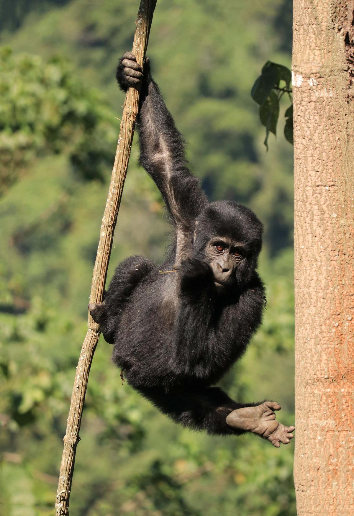 """Hanging out"" – a young mountain gorilla displays its climbing skills in Bwindi Impenetrable National Park, Uganda © Tina Antrobus"