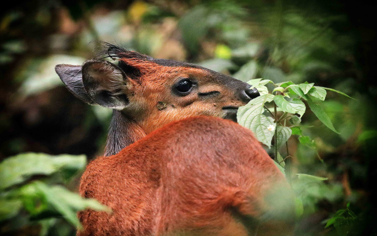 """""""Hidden beauty"""" – a black-fronted duiker spotted in the thick brush in Bwindi Impenetrable National Park, Uganda © Tina Antrobus"""
