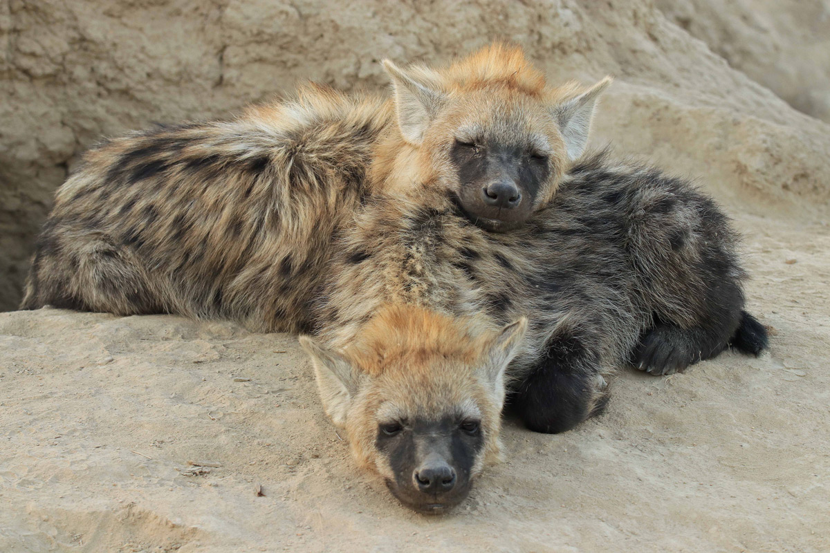 Two juvenile spotted hyenas rest in Timbavati Private Game Reserve, South Africa © Tina Antrobus