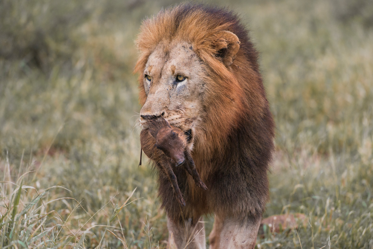 A lion with a warthog piglet in Zimanga Private Game Reserve, South Africa © Tyrone Kruger