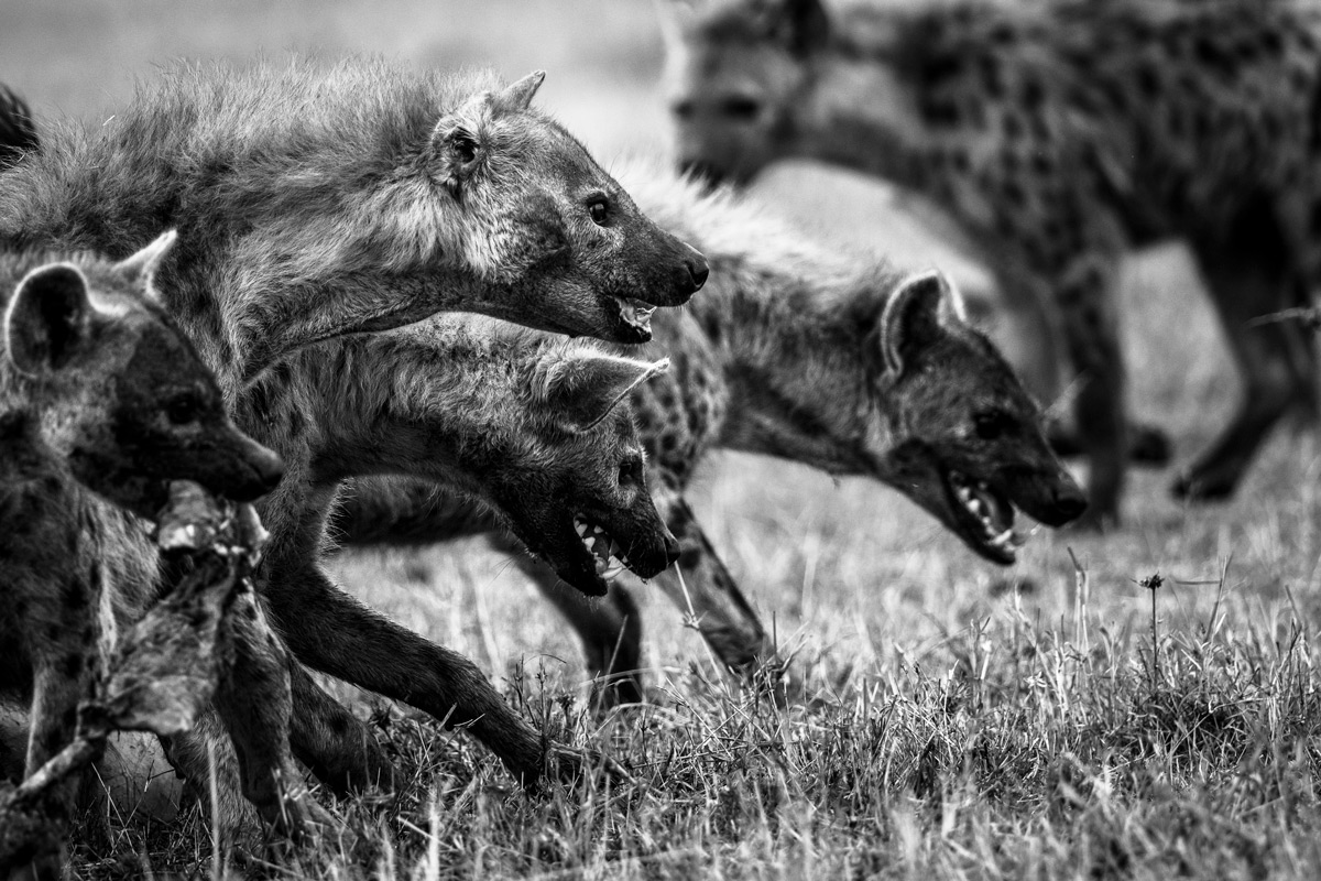 A clan of spotted hyenas descend on a carcass in Maasai Mara National Reserve, Kenya © Véronique Quillard